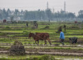 Wide view scenery with farmer and ox plowing rice paddies red river delta vietnam circa march rural green scene tombstones in Stock Photo