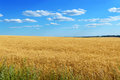 Wide yellow field of spikelets of wheat and a blue sky above it. Royalty Free Stock Photo
