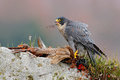 Widlife scene from nature, animal behaviour. Peregrine Falcon, Falco peregrinus, with kill Common Pheasant on stone. Orange autumn Royalty Free Stock Photo