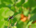 Widow Skimmer Royalty Free Stock Photography