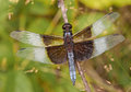 Widow skimmer dragonfly a beautiful perches on a twig waiting for small insects to approach close enough to be captured Royalty Free Stock Images