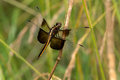 Widow skimmer dragonfly female perched on a stick Royalty Free Stock Photography