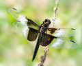 Widow skimmer dragonfly perched on a branch Royalty Free Stock Photography