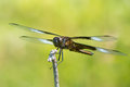 Widow skimmer iv dragonfly perched on a branch Royalty Free Stock Photo
