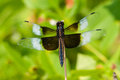 Widow skimmer perched on a plant Royalty Free Stock Images