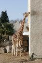 Wie, co to lizanie żyrafy do ściany Zdjęcia Royalty Free