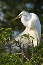 Wielki bydła egret Fotografia Royalty Free