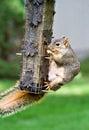 Wiewiórka bandycka Obraz Stock
