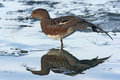 Wigeon anas penelope a single female standing on ice and wing stretching dumfries scotland winter Stock Photos
