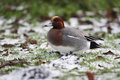 Wigeon anas penelope a single male standing on icy grass dumfries scotland winter Stock Photo