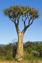 Wild adansonia baobab tree growing at caledon s botanical garden western cape south africa Stock Images