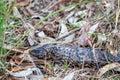 Wild Adult Shingleback Lizard, Woodlands, Victoria, Australia, November 2018 Royalty Free Stock Photo