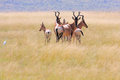 Wild african antelope in grass field Royalty Free Stock Photos
