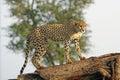 Wild african cheetah Royalty Free Stock Photo