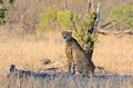 Wild african cheetah sitting observing scenary in shade of a tree stump Stock Photography
