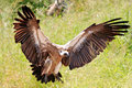 Wild african eagle landing with outspread wings Stock Photos