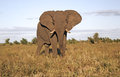 Wild african elephant in game park Royalty Free Stock Photos