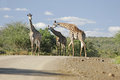 Wild african giraffe in national game reserve Royalty Free Stock Images