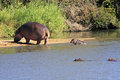Wild african hippo with calf in water Stock Photos