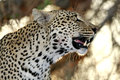Wild african leopard closeup of in national game reserve Stock Photography