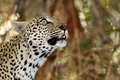Wild african leopard closeup of in national game reserve Royalty Free Stock Photography