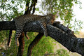 Wild african leopard relaxing in tree Royalty Free Stock Image