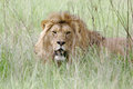 Wild african lion closeup of male Royalty Free Stock Photos