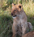 Wild African Lion Cub Royalty Free Stock Photo