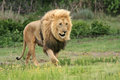 Wild african lion on the prowl Stock Photos