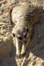 Wild African Meerkat (Suricata suricatta) Stock Photo