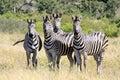 Wild african zebra curious herd Stock Image