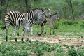 Wild african zebra a herd of burchells walking through bush Royalty Free Stock Photos