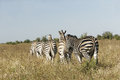 Wild african zebra herd close up of a of zebras Stock Image