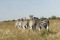 Wild african zebra herd close up of a of zebras Stock Image