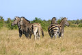 Wild african zebra herd on high alert Stock Photo