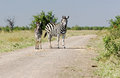 Wild african zebra mare and young burchells in the bush Stock Photos