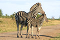 Wild african zebras Royalty Free Stock Photo