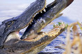 Wild alligator eating catfish Royalty Free Stock Images