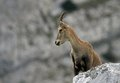 Wild alpine ibex steinbock female capra or standing on a rock in alps mountain france Royalty Free Stock Image