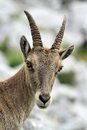 Wild alpine ibex steinbock portrait female capra or in alps mountain france Royalty Free Stock Photography