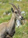 Wild alpine ibex steinbock portrait female capra or in alps mountain france Stock Photos