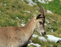Wild alpine ibex steinbock portrait female capra or in alps mountain france Royalty Free Stock Images