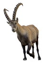 Wild alpine ibex steinbock portrait male capra or in white background Stock Images