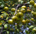 Wild American Crab Apples on the Tree Royalty Free Stock Image