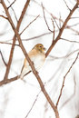 Wild American Goldfinch Winter Plumage in the Snow Stock Image