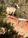 Wild animal alpine mountain goat sentry protecting band flank forest Royalty Free Stock Photos