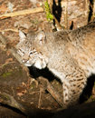 Wild animal bobcat stalking through woods a large cat walks around looking for moving prey Royalty Free Stock Image