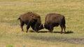 Wild Animal Buffalo Bull Males Fight Yellowstone National Park Royalty Free Stock Photo