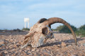 Wild animal skull a of a goat antelope lying on the road in the western sahara north africa Royalty Free Stock Photography