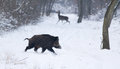 Wild animals on snow walking in forest boar and red deer in background Stock Photography